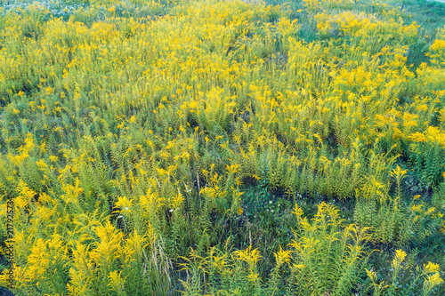 Ragweed field in summer. Natural background Canvas Print