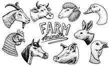 Farm Animals. Head Of A Domest...