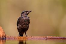 Juvenile Cape Glosy Starling A...