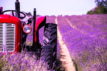 Lavender Farm In South London With A Red Tractor For Contrast Colour