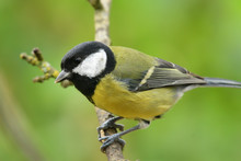 Great Tit (parus Major) Perching On A Branch