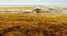 Beach Full Of Sargassum