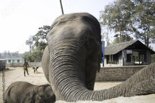 Elephant Selfie Poster
