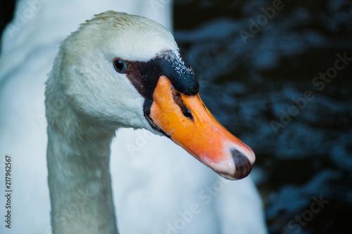 Staande foto Zwaan Swan