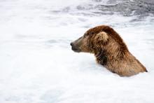 A Bear Fishing In The Hot Tub Section Of The Brooks River Falls. Katmai National Park, Alaska