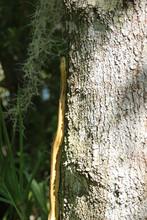 Yellow Florida Rat Snake Climbing Up A Tree