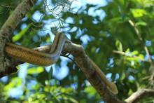 Beautiful Yellow Rat Snake Cli...