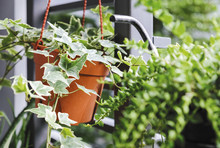 English Ivy Or Hedera Helix In Flower Pot In Small Garden At Balcony