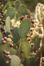 Portrait Of A Prickly Pear