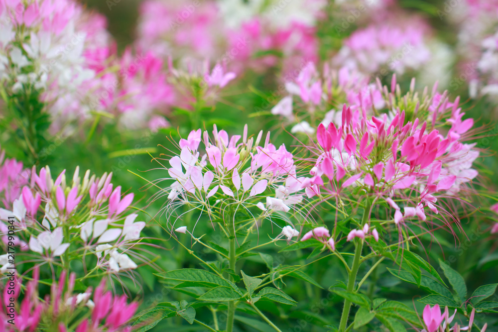 Beautiful Cleome spinosa or Spider flower in the garden