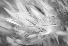 Gray Chicken Feathers In Soft And Blur Style For The Background