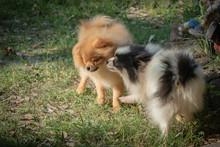 Pomeranian Dog Will Bite Each ...