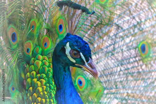 Fotobehang Pauw Bright background with a portrait of a peacock on the background of tail feathers.