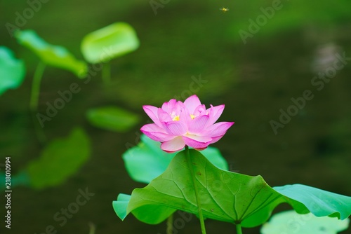 Poster de jardin Nénuphars Ancient Lotus blooms in the morning