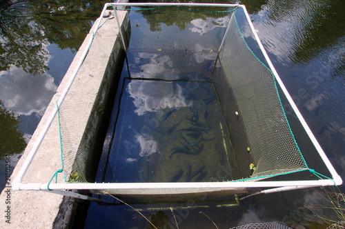 Fotografie, Obraz  Hodowla pstrągów, ryby oddzielone w przegrodzie siecią rybacką