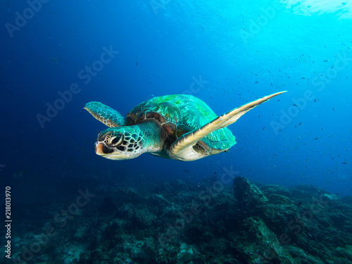 Poster Tortue Green sea turtle