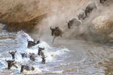 Wildebeest Crossing The Mara River During The Great Migration