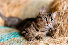 Chat Dans La Paille