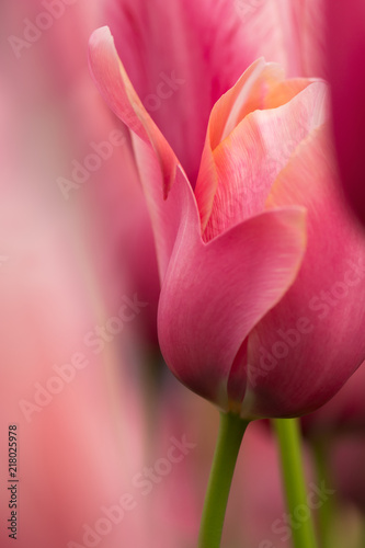 Tulip flower close-up