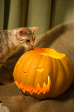 Halloween Preparation. Cat And Pumpkin. Jack-o-lantern. Curious Ocicat Tryig To Smell The Burning Lantern. Hallowween Is Coming.
