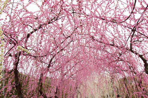 In de dag Candy roze 昇竜しだれ梅園/静岡県浜松市