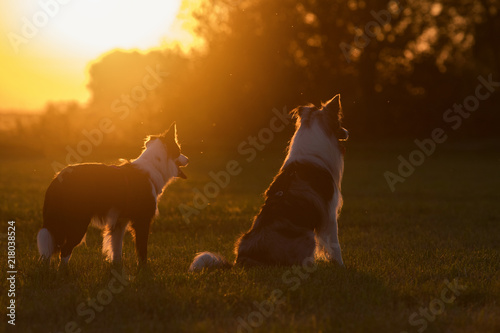 Canvas Zwei Border Collies im Sonnenuntergang