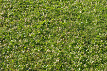 Green Grass And White Clover. Texture, Background. Fading White Clover, Plantain And Other Meadow Grasses.