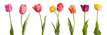 Flowers. Row Of Beautiful Colorful Tulips Isolated On White Background