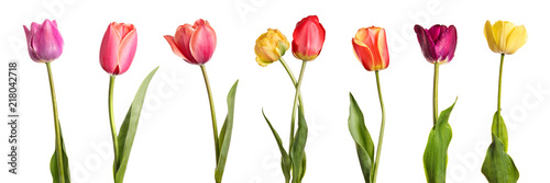 Tuinposter Tulp Flowers. Row of beautiful colorful tulips isolated on white background