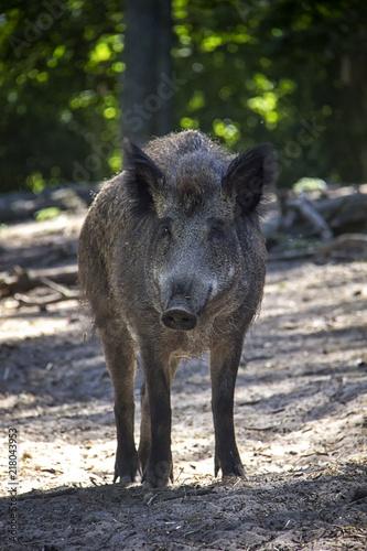 Photo  Wild boar in forest.