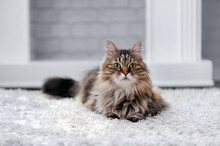 Pretty Fluffy Cat Laying Against Grey Brick Wall