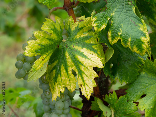 Fotomural Interveinal chlorosis caused by iron or nitrogen deficiency on a grape vine with grapes