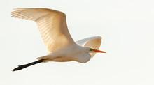 Great Egret(Ardea Alba)) In Fl...