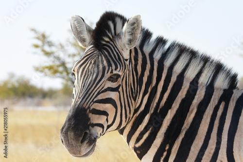 Poster Zebra Steppenzebra (Equus quagga) im Etosha Nationalpark (Namibia)