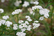 Achillea Millefolium, Yarrow, Common Yarrow Flowers Macro