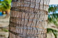 Texture Of The Palm Trunk.