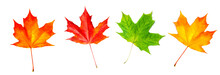 Autumn Leaf. Red Autumn Maple Leaf Isolated On A White Background, Close Up. .