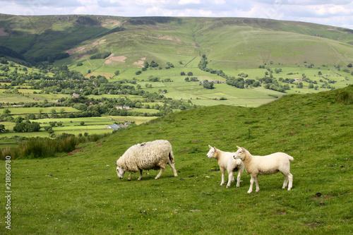 Fotobehang Schapen Sheep in Edale Valley, Derbyshire, England