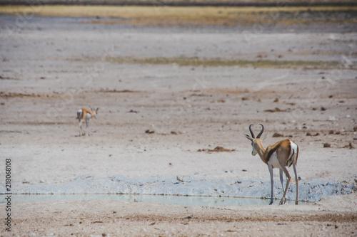 Springbok Etosha national Parc Namibie Antilope
