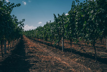 Rows Of Grapevines. Horizon Ov...