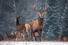 Two Deer ( Cervus Elaphus )  Against The Background Of The Winter Forest And The Silhouettes Of The Herd: Stag With Beautiful Horns Looks Directly At You, Female Deer Standing In A Half-Turn. Belarus