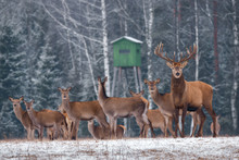 Deer Hunting In Winter Time. Group Of Noble Deer ( Cervus Elaphus ), Led By Stag, Against The Backdrop Of Hunting Tower And  Winter Birch Forest. A Herd Of Beautiful Deer, Selective Focus On The Hart