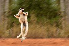 Verreaux's Sifaka Lemur Dancin...