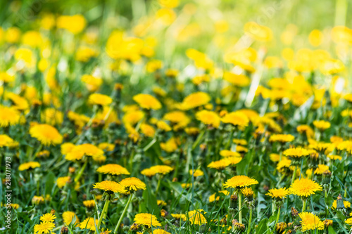 Deurstickers Narcis Nice field with fresh yellow dandelions and green grass