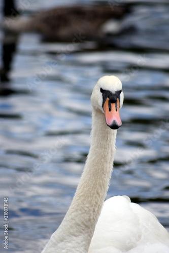 Staande foto Zwaan White swan