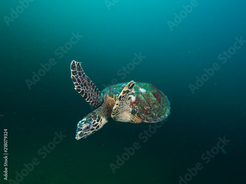 Fototapeta Hawksbill turtles swimming obraz na płótnie