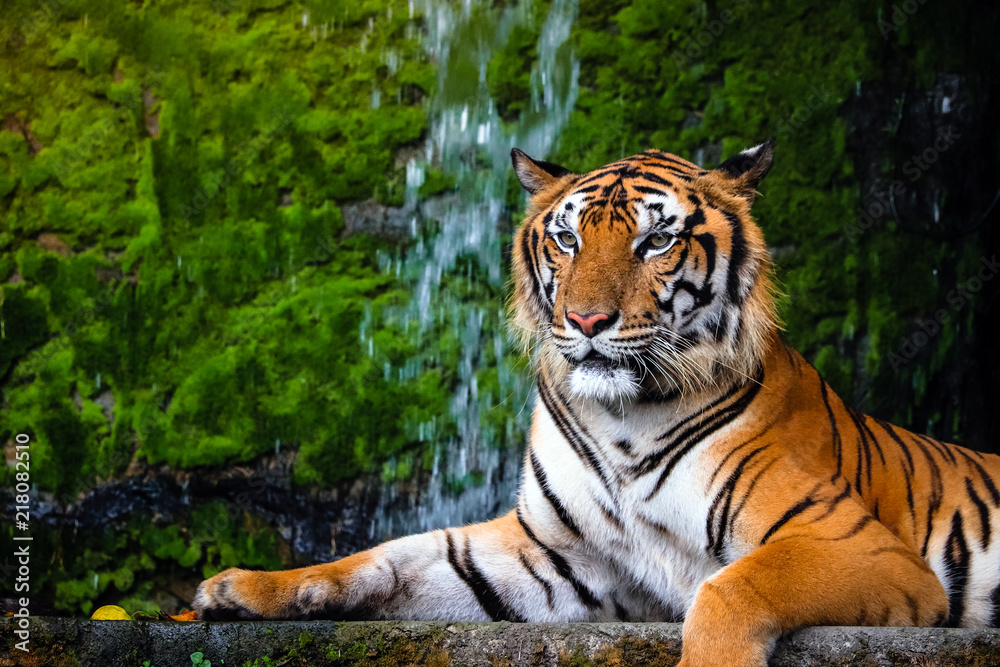 Fototapeta close up portrait of beautiful bengal tiger with lush green habitat background