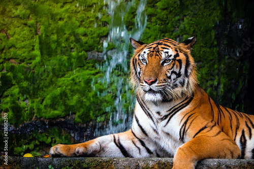 Fotografia close up portrait of beautiful bengal tiger with lush green habitat background