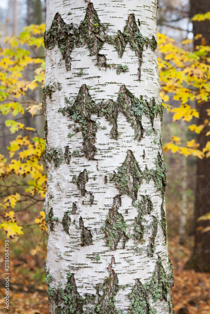 Close-up old birch tree trunk in autumn forest