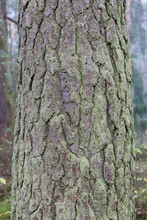 Old Textured Pine Tree Trunk Bark In Forest